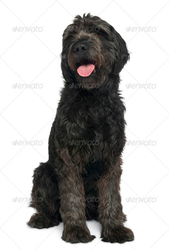 Mixed-breed, 6 years old, sitting in front of white background - Stock Photo - Images