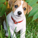 A small white dog puppy breed Jack Russel Terrier - PhotoDune Item for Sale