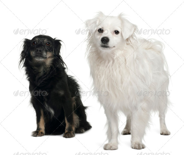 Mixed-breed, 3 and 6 years old, sitting in front of white background - Stock Photo - Images