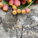 Prickly pear plants an old stone wall - PhotoDune Item for Sale
