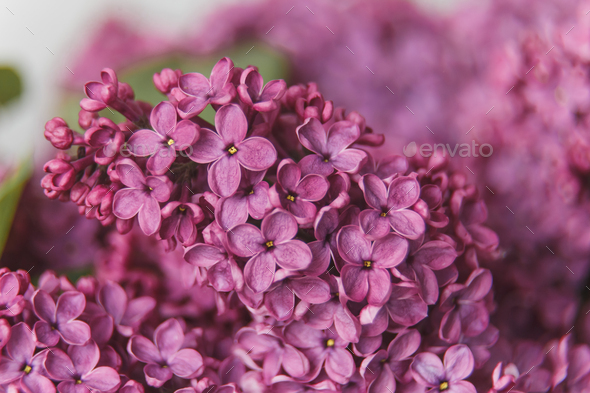 Macro image of spring lilac violet flowers, abstract soft floral background - Stock Photo - Images