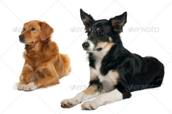 Border collie and a Nova scotia duck-tolling retriever, lying in front of white background - Stock Photo - Images