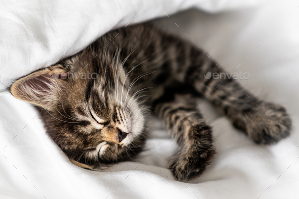 Cute little kitten sleeping covered with blanket - Stock Photo - Images