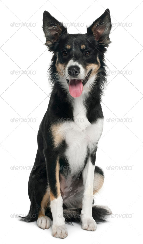 Border collie, 7 months old, sitting in front of white background - Stock Photo - Images