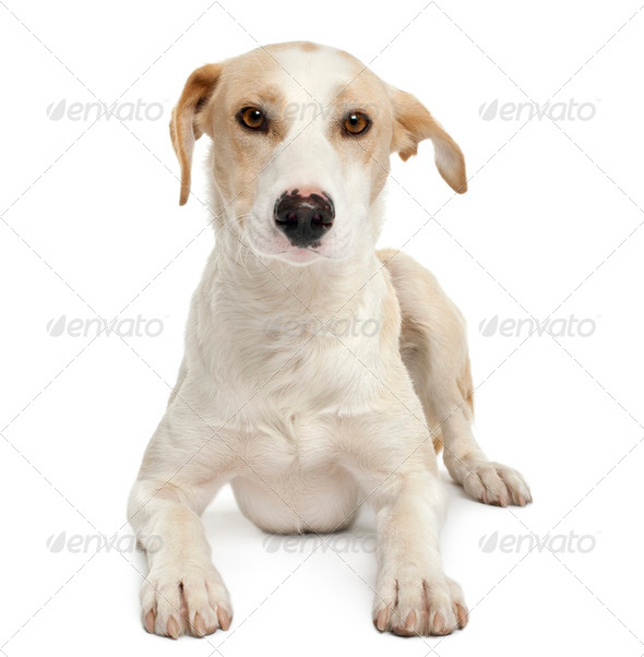 Ibizan hound, 12 months old, lying in front of white background - Stock Photo - Images
