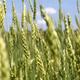 Green wheat ears - PhotoDune Item for Sale