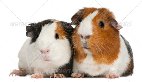 Guinea pigs, 3 years old, lying in front of white background - Stock Photo - Images