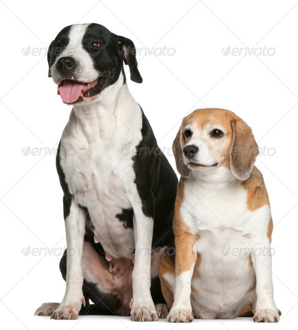 Argentine dogo and a beagle, sitting in front of white background - Stock Photo - Images