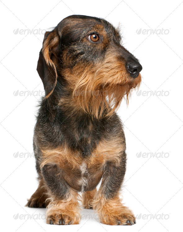Dachshund, 2 years old, standing in front of white background - Stock Photo - Images