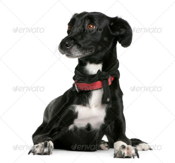Mixed-breed, 18 months old, lying in front of white background - Stock Photo - Images