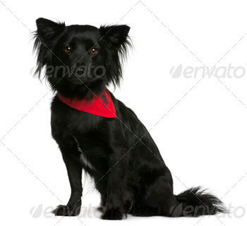 Mixed-breed, 18 months old, sitting in front of white background