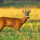 Roe deer buck observing on agricultural field in summer nature - PhotoDune Item for Sale