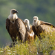 Numerous flock of griffon vulture sitting on horizon in sunny summer morning - PhotoDune Item for Sale