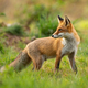 Red fox looking behind over shoulder at sunset in summer - PhotoDune Item for Sale
