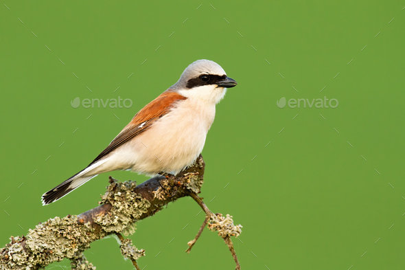Red-backed shrike sitting on a branch with moss in summer nature - Stock Photo - Images
