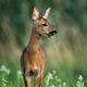 Roe deer doe standing on blossoming meadow and chewing green leaf in mouth - PhotoDune Item for Sale