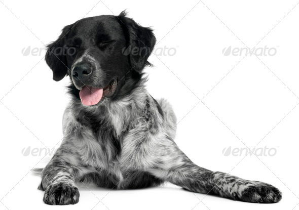 Border Collie, 10 months old, lying in front of white background - Stock Photo - Images