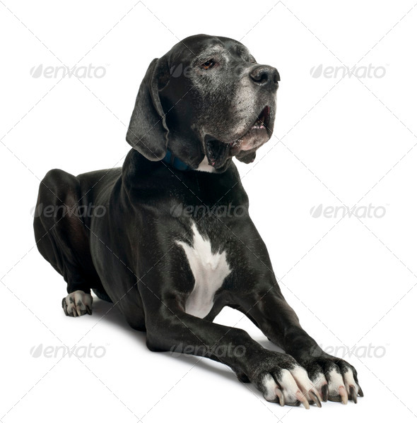 Great Dane, 1 year old, lying in front of white background - Stock Photo - Images