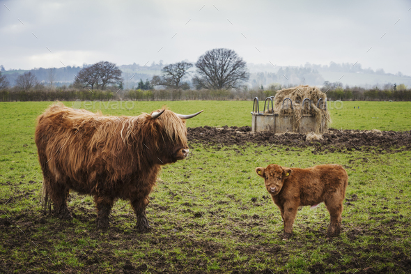 A highland cow and calf in a field by a hay feed holder. - Stock Photo - Images