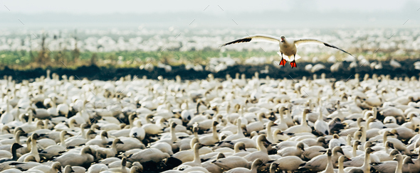 One snowgoose flying over a flock of snowgeese on the ground. - Stock Photo - Images