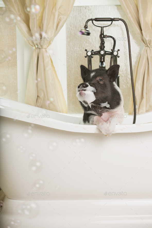 A mini pot bellied pig in a bathtub, looking through the shower curtain. - Stock Photo - Images