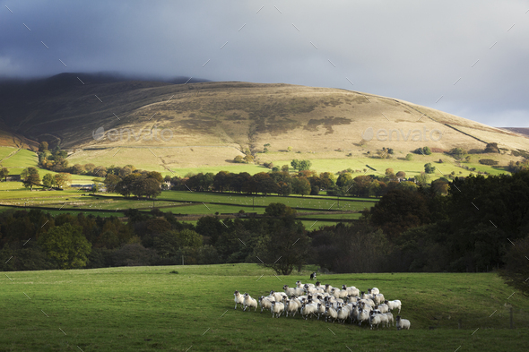 Large flock of sheep on a meadow, hills in the distance. - Stock Photo - Images