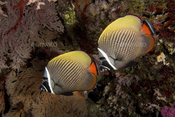 Pair of Redtail or Collared butterflyfish near gorgonian on a coral reef. - Stock Photo - Images