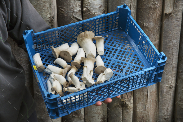 High angle view of a crate of freshly picked mushrooms. - Stock Photo - Images