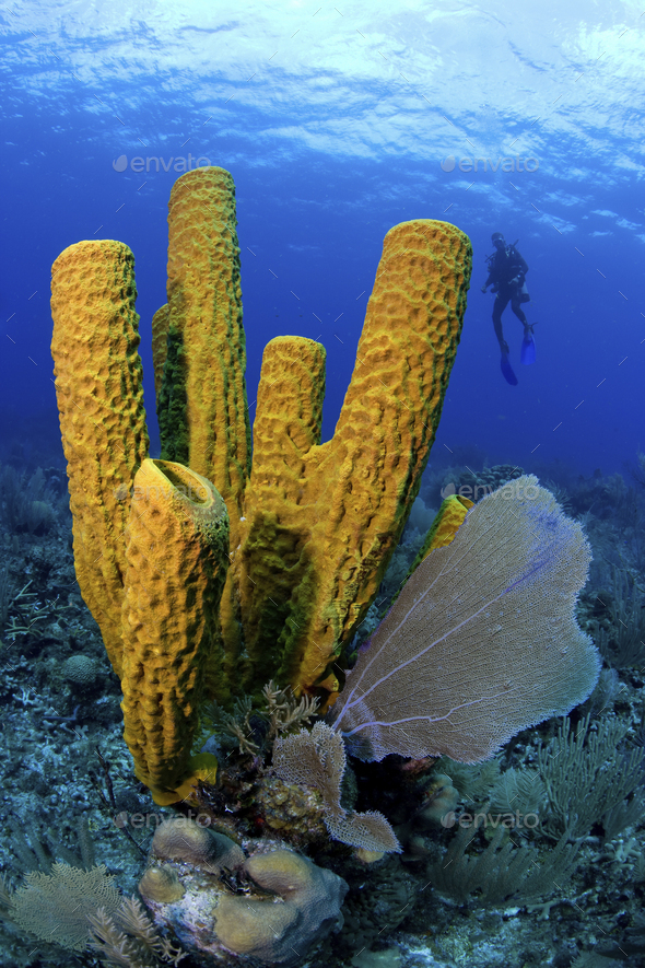 Diver is highlighted behind a grouping of tube sponges. - Stock Photo - Images