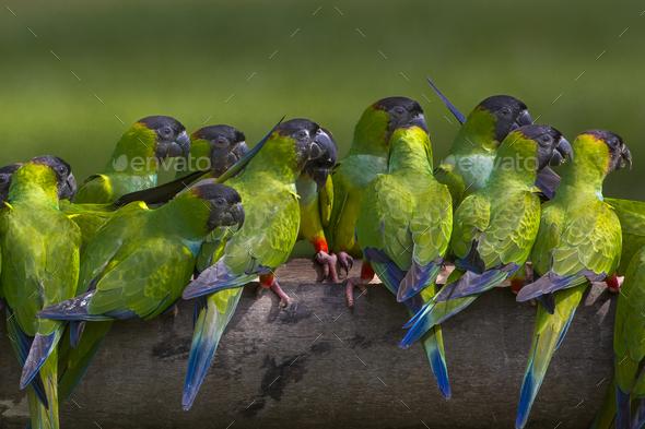 Nanday parakeets, Pantanal, Brazil - Stock Photo - Images