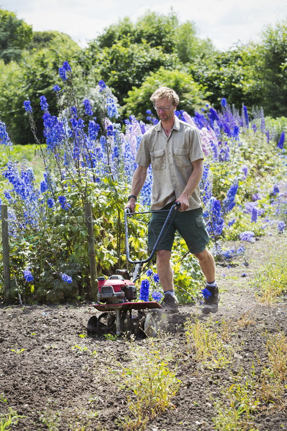 A man using a rotivator on soil in flowers beds in an organic garden. - Stock Photo - Images