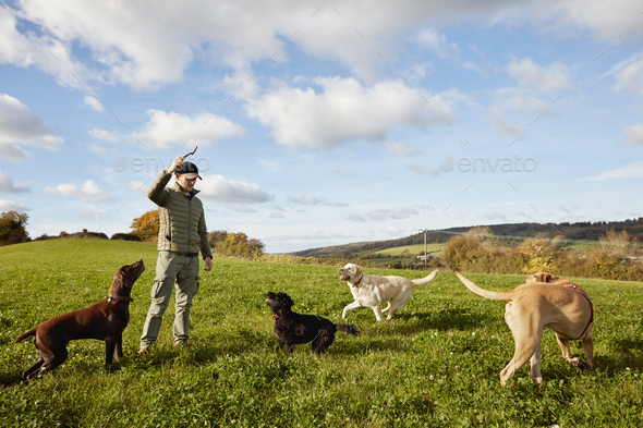 Dog walker, a man with his arm raised to throw a stick for three dogs. - Stock Photo - Images