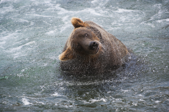 A brown bear shakes off excess water after fishing in Katmai National Park, Alaska, USA. - Stock Photo - Images