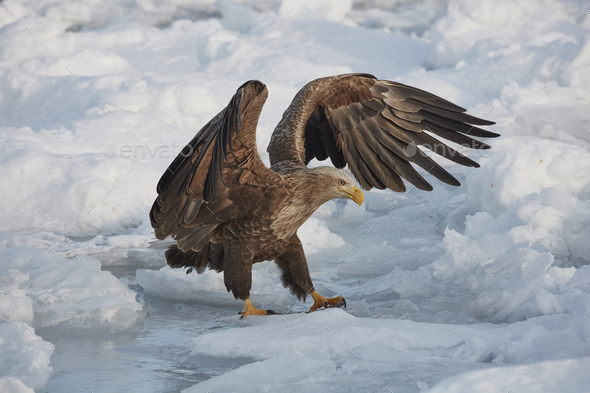 White-Tailed Eagle (Haliaeetus albicilla) hunting on frozen bay in winter. - Stock Photo - Images