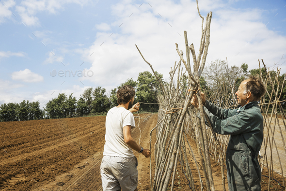 A man tying in poles in a line of bean pole supports. - Stock Photo - Images