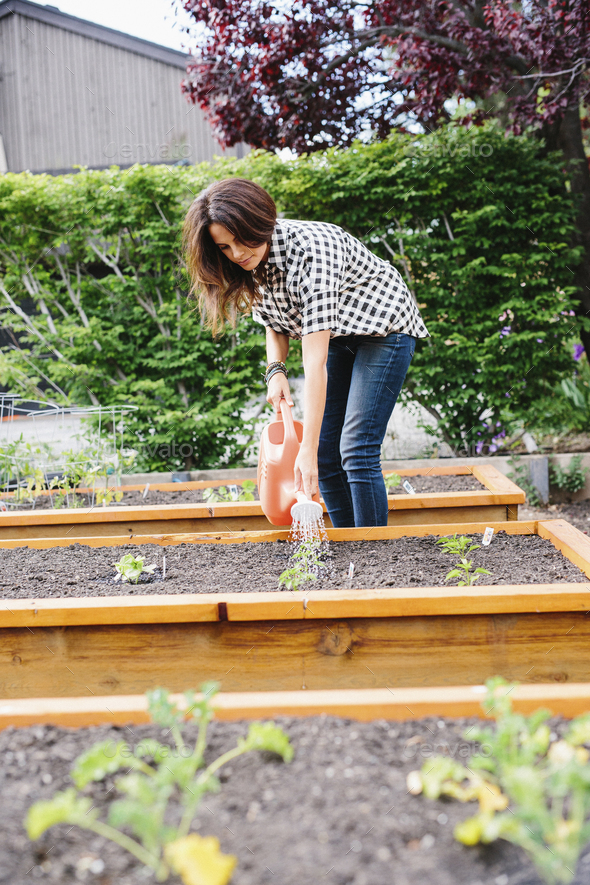 Woman with long brown hair working in a garden, watering seedlings in a bed. - Stock Photo - Images