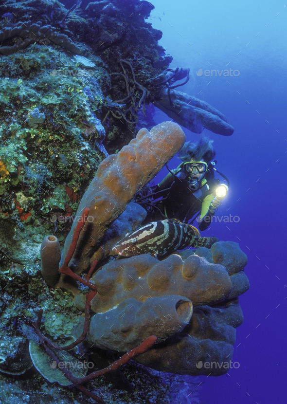 Diver illuminating a Nassau grouper resting on a cluster of Brown tube sponges under the water. - Stock Photo - Images