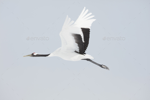 Red-Crowned Cranes (Grus japonensis) mid-air in winter. - Stock Photo - Images