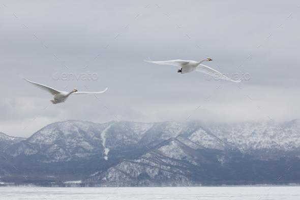 Whooper Swan (Cygnus cygnus) mid-air in winter. - Stock Photo - Images