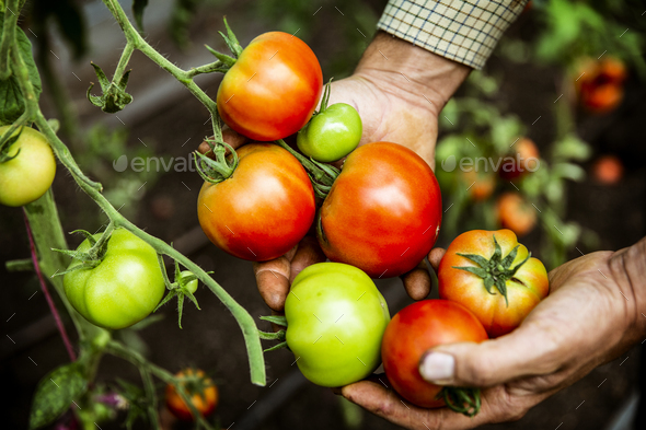 High angle close up of farmer holding bunch of fresh tomatoes. - Stock Photo - Images