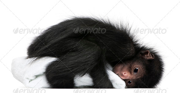 Red-faced Spider Monkey, Ateles paniscus, 3 months old, holding blanket in front of white background - Stock Photo - Images