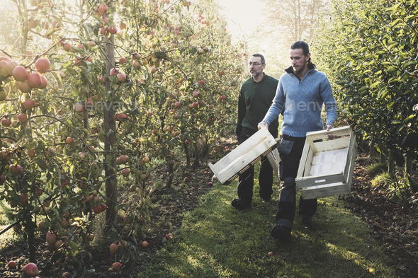Two men walking in apple orchard, carrying wooden crates. Apple harvest in autumn. - Stock Photo - Images