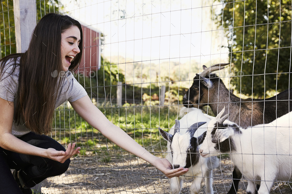 A young woman crouching down and feeding a group of goats through a wire fence. - Stock Photo - Images