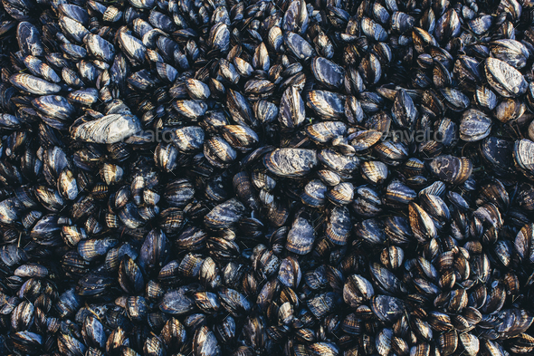 Close up of dense grouping of mussels (shellfish), McClures Beach, Point  Reyes National Seashore, - Stock Photo - Images