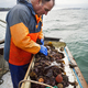 Traditional Sustainable Oyster Fishing. A man sorting oysters on a boat deck. - PhotoDune Item for Sale