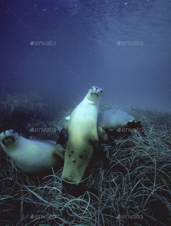 Australian sea lions swimming above the seabed in the waters of the southern ocean. - Stock Photo - Images