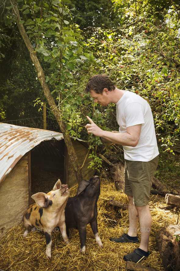 Two pigs outside a pigsty, man standing with a raised finger, training them to sit. - Stock Photo - Images
