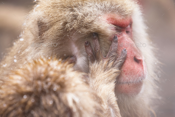 Close up of Japanese Macaque, Snow Monkey, Macaca fuscata. - Stock Photo - Images