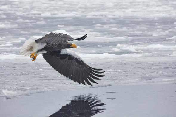 Steller's Sea Eagle (Haliaeetus pelagicus) mid-air, winter. - Stock Photo - Images