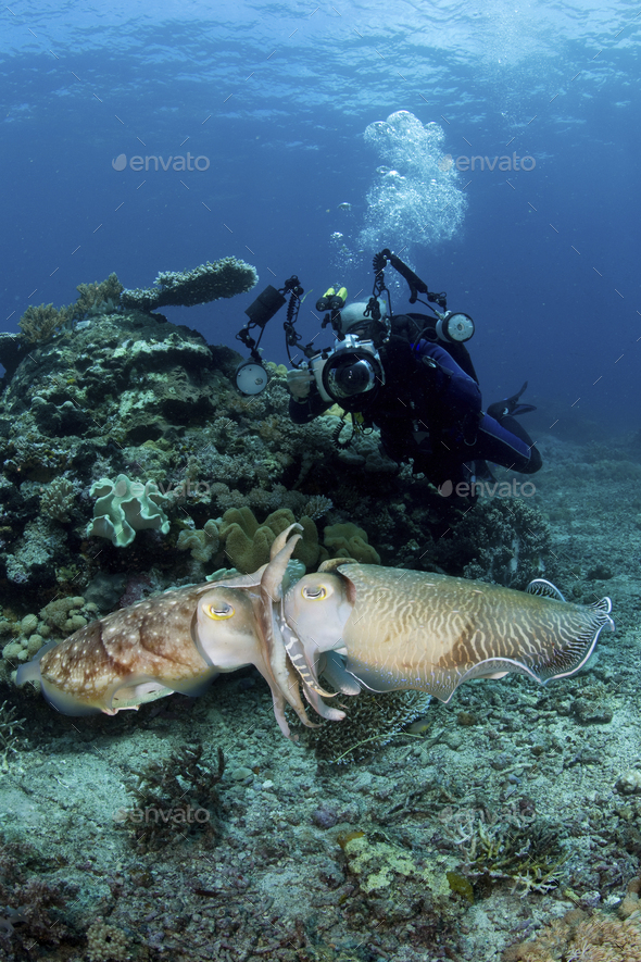 A scuba diver captures photographs of a pair of mating Broadclub cuttlefish (Sepia latimanus). - Stock Photo - Images
